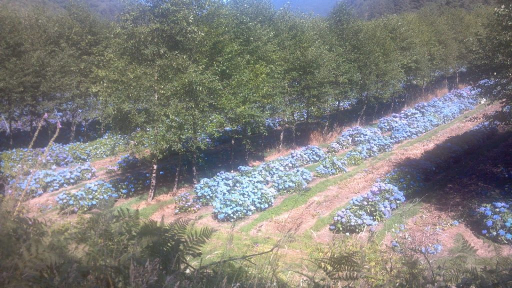 Hydrangea Ranch