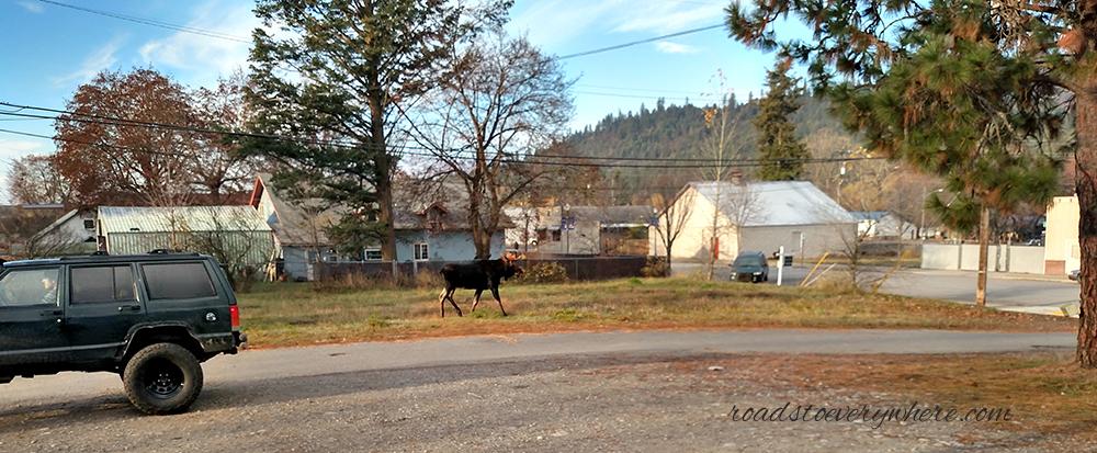 Moose on Gray Street in Rathdrum, Idaho