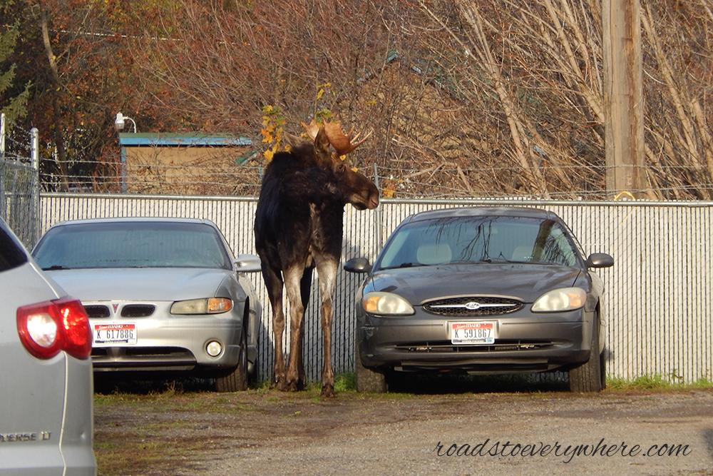 Moose in Rathdrum, Idaho